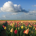 Tulipmania in Holland