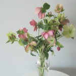 Helleborus – Free-spirited beauty with an interesting past.