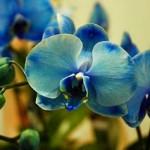 Blue phaleonopsis?