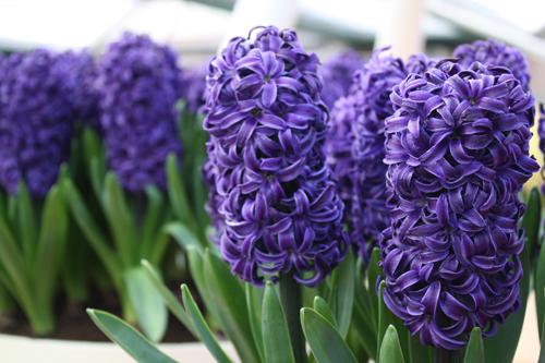Hyacinths, Lilacs & Hydrangeas of Keukenhof Gardens