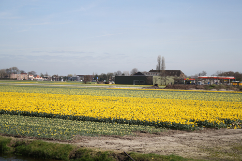 Daffodil Fields in Holland