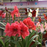 Amaryllis look to be quite popular, I saw them often.
