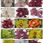 Cymbidium Orchid Varieties