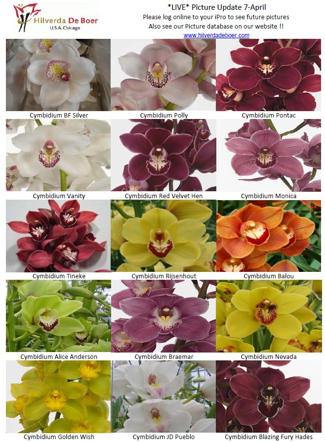 Cymbidium Orchid Varieties