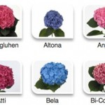 Hydrangeas by Hyperactive Farms