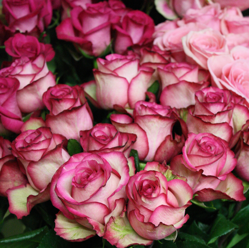 Elite Pink Two Tone Roses
