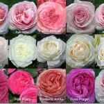 Garden Roses available by Mayesh
