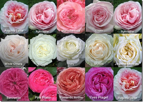 garden roses available by mayesh - Garden Rose