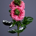 The new Rive Gauche Rose from Green Valley Floral