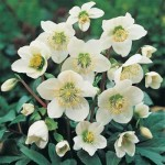 christmas rose helleborus