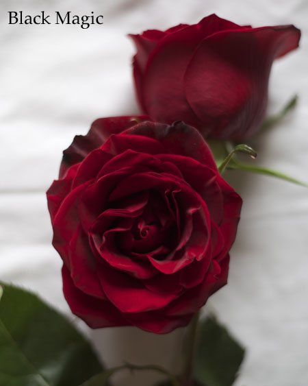 Black Magic Burgundy Rose