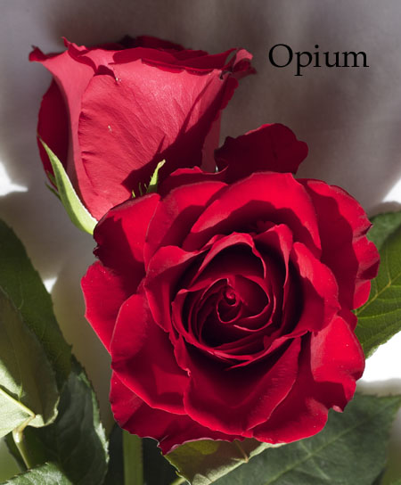 Opium Red Rose