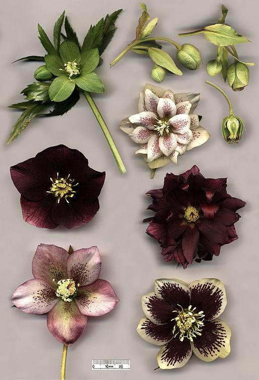 522px-Hellebore_flowers
