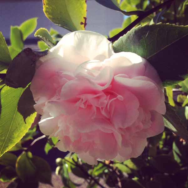 light pink camellia