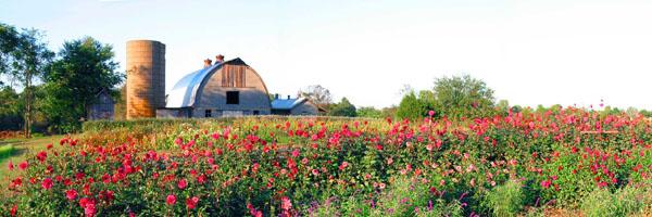 Dahlia Farm