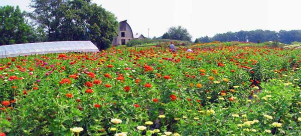 Zinnias Virginia Flower Farm