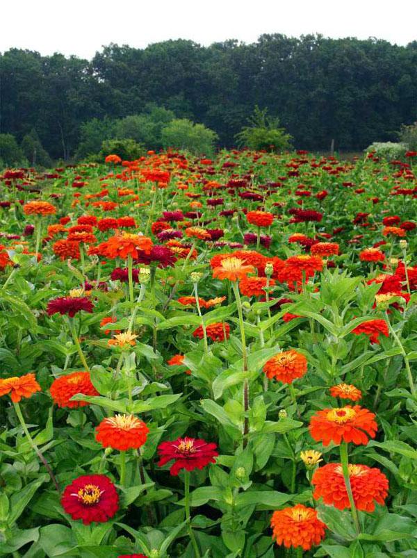 Zinnias Flowers Farm Virginia