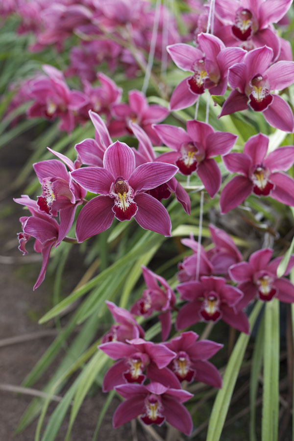 growing Cymbidiums
