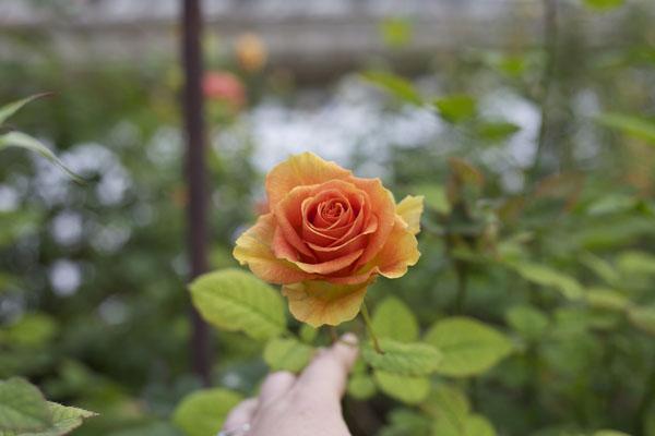 Orange rose in the greenhouse