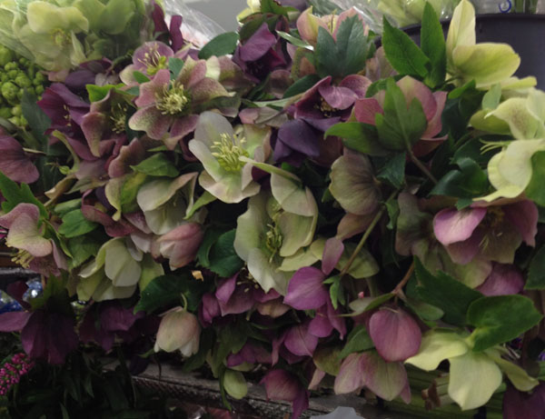 green and purple hellebores