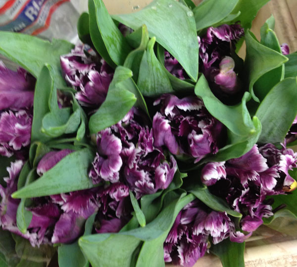 purple parrot tulips