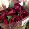 dark red garden rose