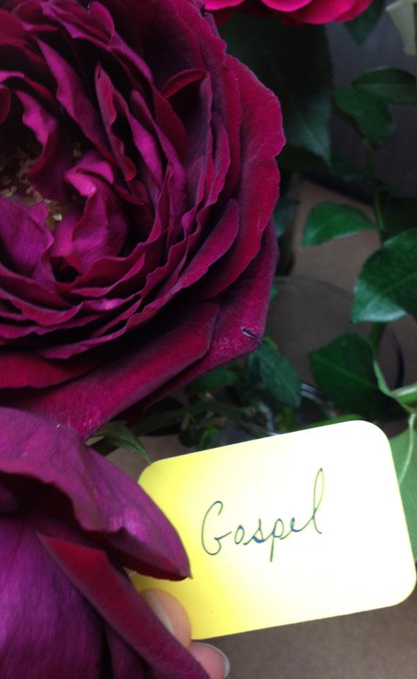 plum burgundy roses