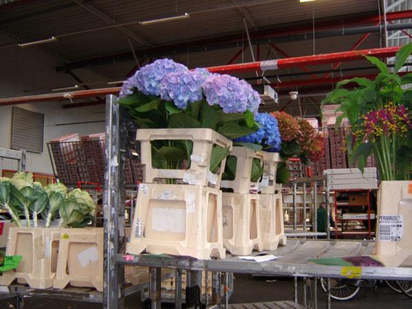 Hydrangea Holland