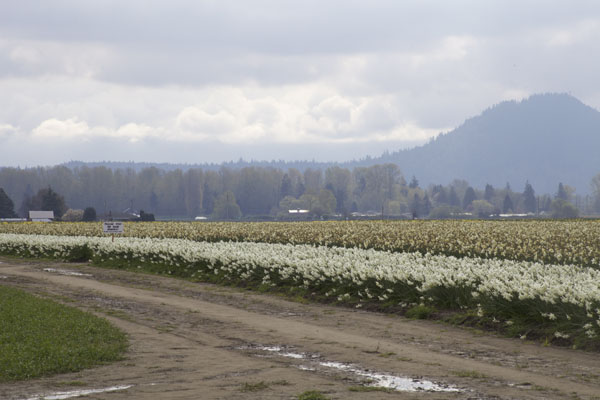 daffodil field Skagit Valley