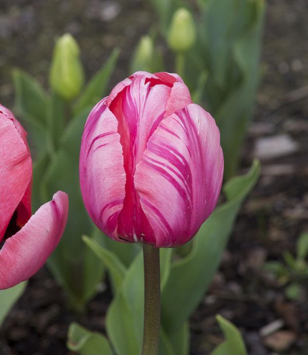 pink striped tulip