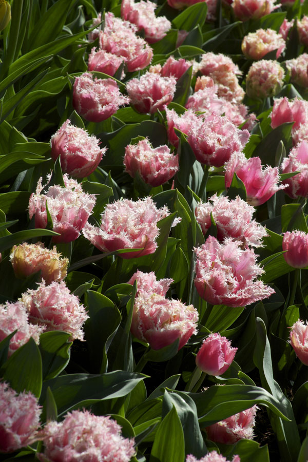 pink fringe tulips