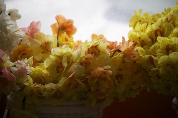 yellow double daffodils