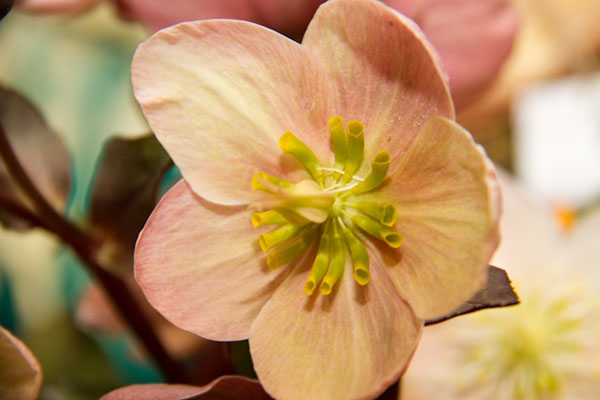 Pink Frost Hellebores