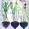Flower Focus :: Fritillaria