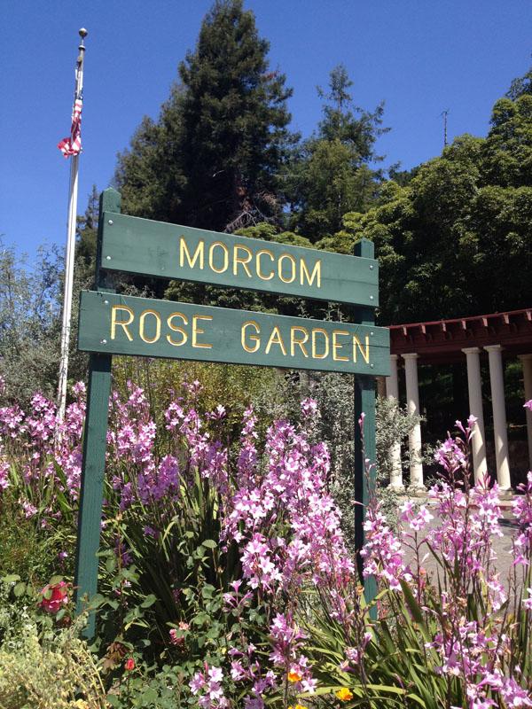 Oakland Garden Rose