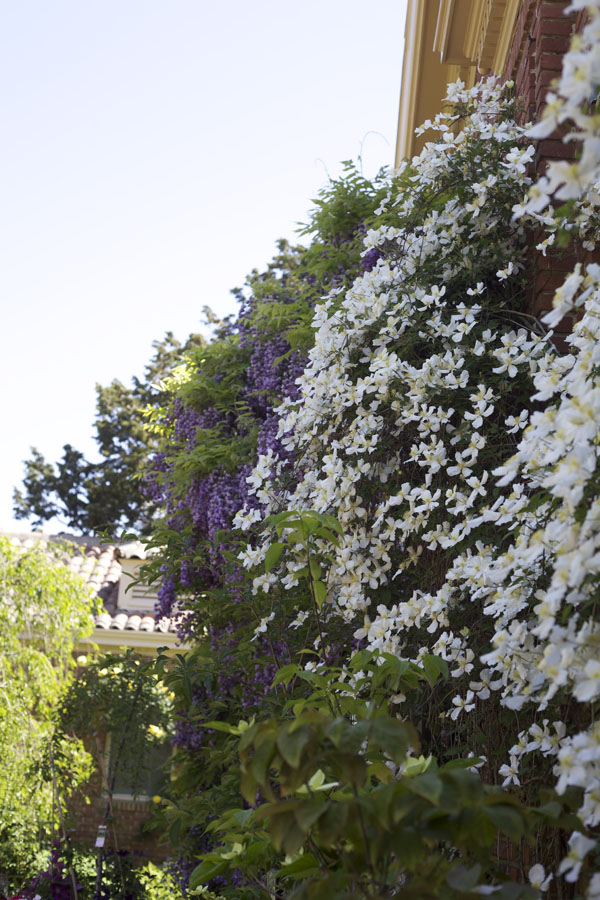 clematis and wisteria