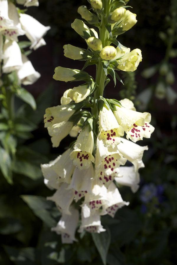 White Foxglove