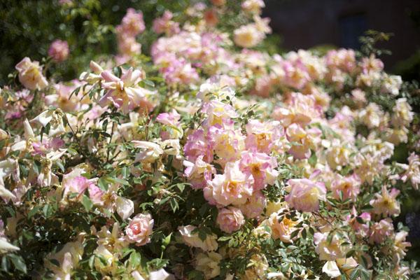 large garden roses
