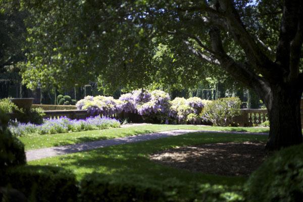 wisterias