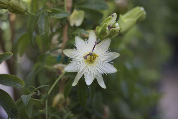 white passionflower