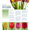 Tulips; Care and Handling