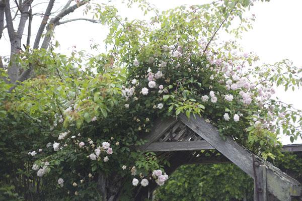 wild rose vine