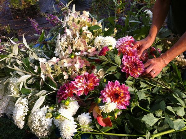 Dahlia Harvest