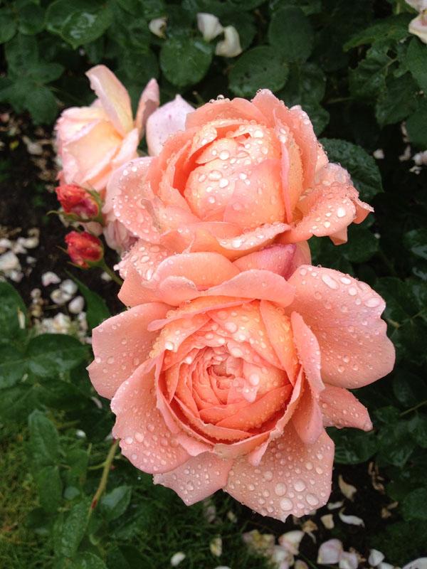 peach garden rose
