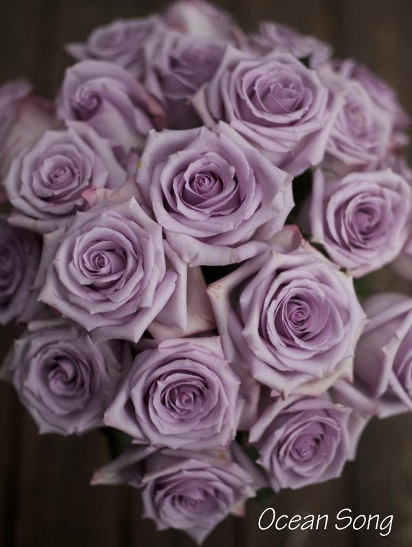 Ocean Song Rose