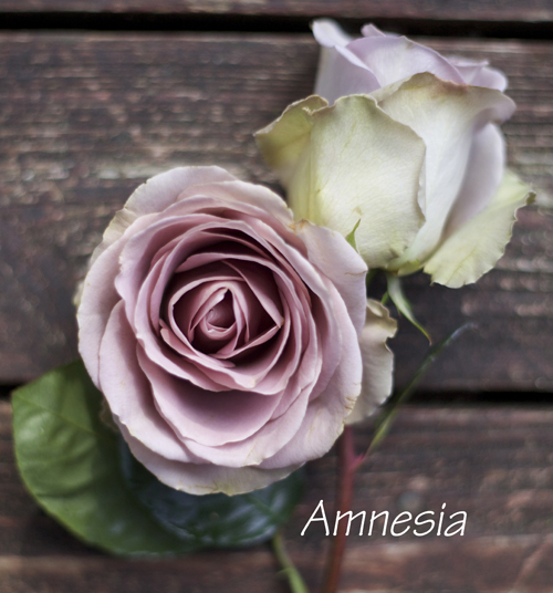 antique lavender rose
