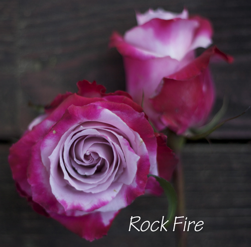 purple and magenta rose