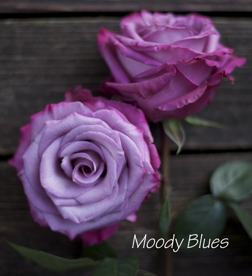 lavender purple rose