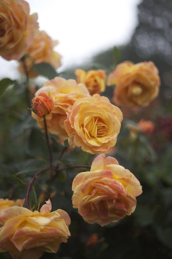 apricot orange garden roses