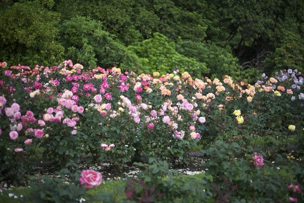 portland international rose test garden